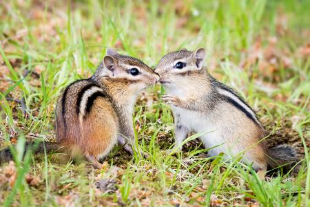 ardilla: Un par de besos Chipmunk en la hierba Foto de archivo