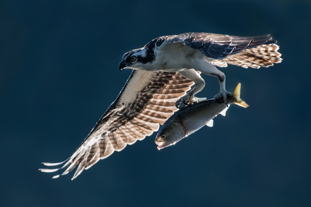 Osprey in Flight with Backlit Wings After Catching an Menhaden