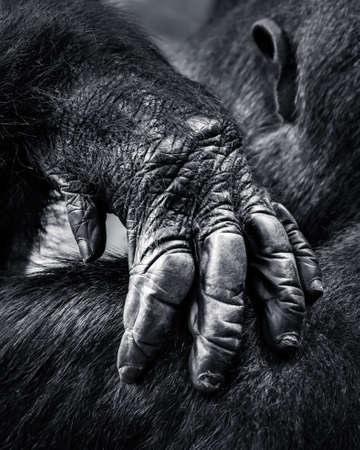 lowland: Closeup of a Western Lowland Gorillas Hand