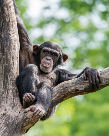frontal portrait: Frontal Portrait of a Young Chimpanzee Relaxing in a Tree
