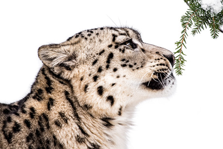 pine needles: Profile Portrait of a Curious Snow Leopard Sniffing Pine Needles Against a White Background