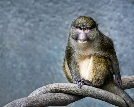 Frontal Portrait of a Allens Swamp Monkey Against a Mottled Blue Background Imagens