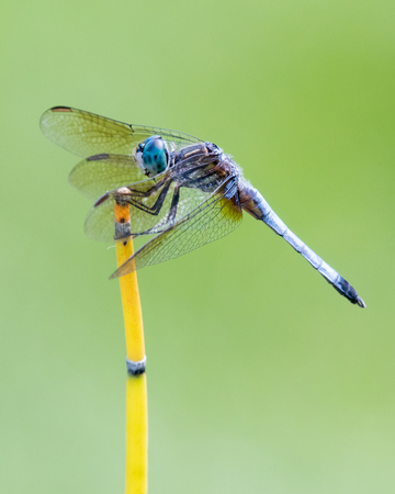 Profile Portrait of Blue Dasher Dragonfly Perched on Bamboo