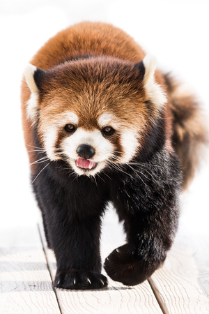 bearcat: Red Panda Walking with Tongue Out