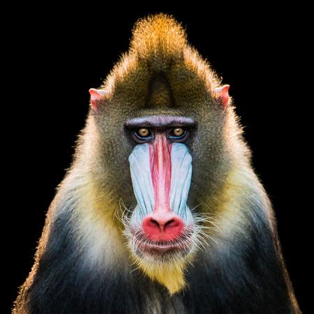 バックライト付き雄マンドリルの正面肖像画