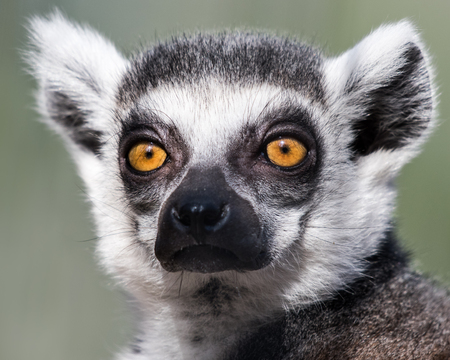 Frontal Portrait of Ring-Tailed Lemur