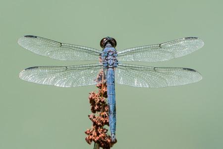 slaty: Overhead Portrait of Slaty Skimmer Dragonfly