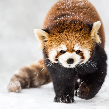 bearcat: A Red Panda Walking in the Snow Stock Photo