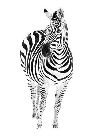 grants: A Grants zebra standing in the snow