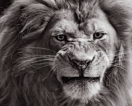 Frontal Portrait of an African Lion in Black and White Sepia