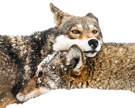 Red Wolf Pair Cuddling in Snow Stock Photo