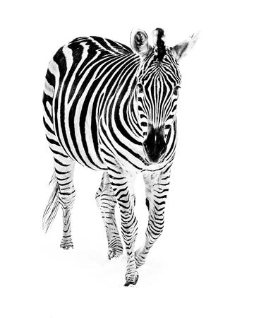 grants: A Grants zebra walking in the snow