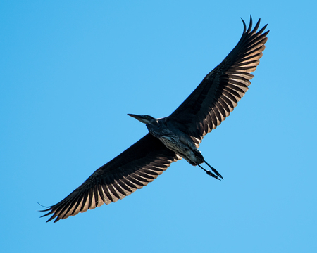 Great Blue Heron with Backlit Wings Flying Overhead Against a Blue Sky