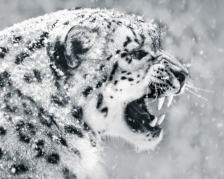 Profile Portrait of Snarling Snow Leopard in Snow Storm Stock Photo