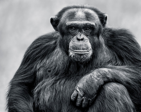 Black and White Frontal Portrait of an Alpha Male Chimpanzee Stock Photo