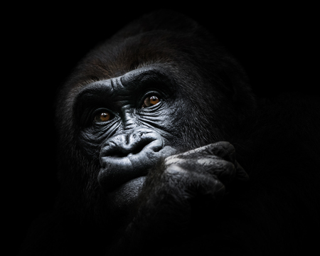 Frontal Portrait of a Western Lowland Gorilla Deep in Thought