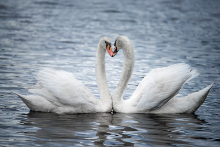 A Profile Portrait of Two Courting Mute Swans
