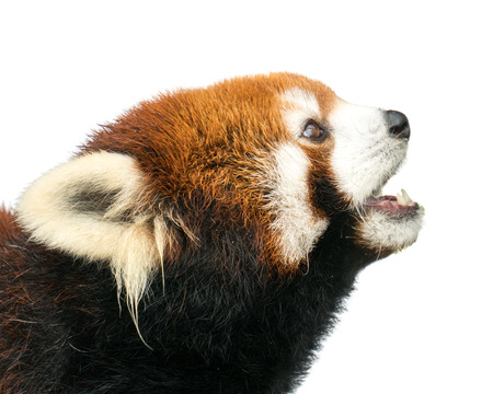 bearcat: Profile Portrait of a Red Panda Against a White Background