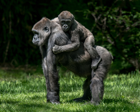 Baby Gorilla Riding Piggyback on Its Mother