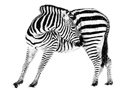 hoofed: Profile Portrait of a Plains Zebra Against a White Background Stock Photo