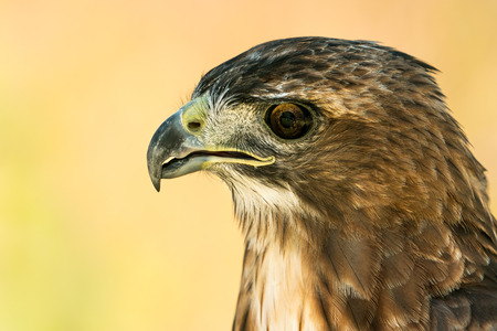Profile Portrait of a Red-Tailed Hawk Against a Yellow Background