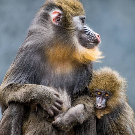 Frontal Portrait of a Mandrill Family Against a Mottled Blue Background Stock Photo - 89291054