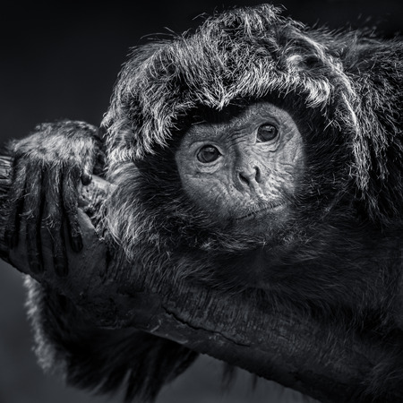 Frontal Portrait of an Ebony Langur Resting on a Branch Stock Photo - 89291056