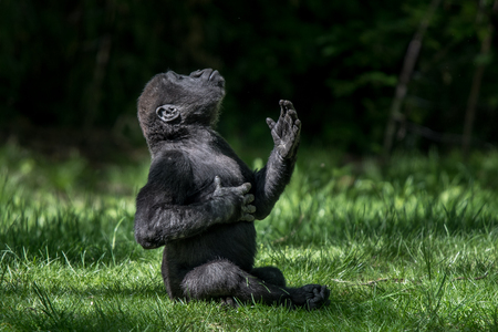 Baby Western Lowland Gorilla Practicing Chest Pound