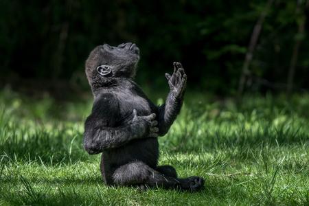 Gorilla di pianura bassa del bambino che pratica la chiocciola di sterline Archivio Fotografico - 89291063