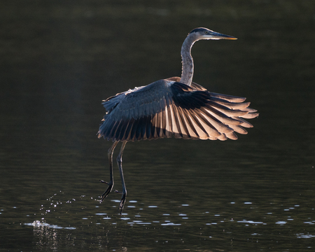 Great Blue Heron in Flight with Backlit Wings