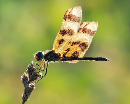 Profile Portrait of a Backlit Halloween Pennant  Dragonfly Against a Green Background Stock Photo - 89307717