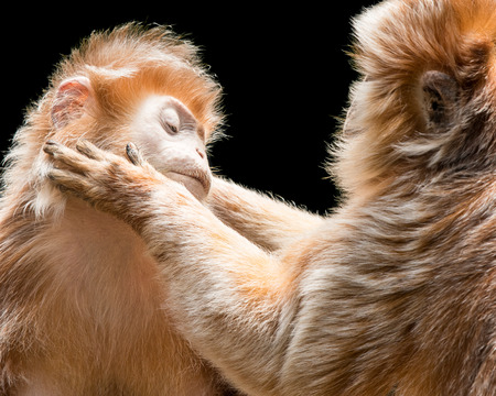 Ebony Langurs Grooming Each Other Against a Black Background Stock Photo - 89307718