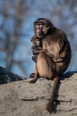 Portrait of a Gelada Baboon Mother with Baby