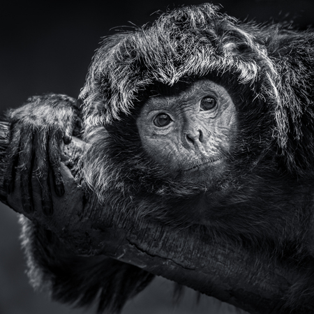 Frontal Portrait of an Ebony Langur Resting on a Branch Stock Photo - 89307721