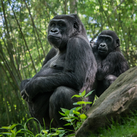 Western Lowland Gorilla Family of Pregnant Mother and Baby