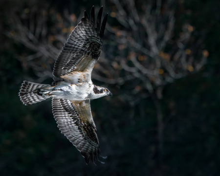 Osprey in Flight in Front of Blurred Trees Stock Photo - 89307726