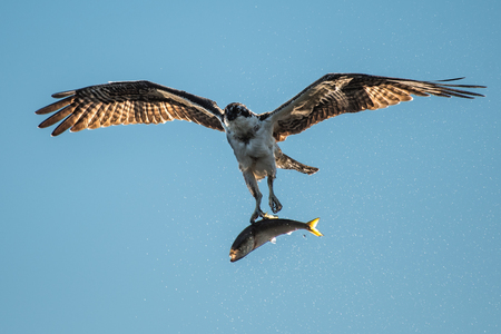 Backlit Osprey in Flight After Catching a Menhaden Fish Stock Photo - 89307731