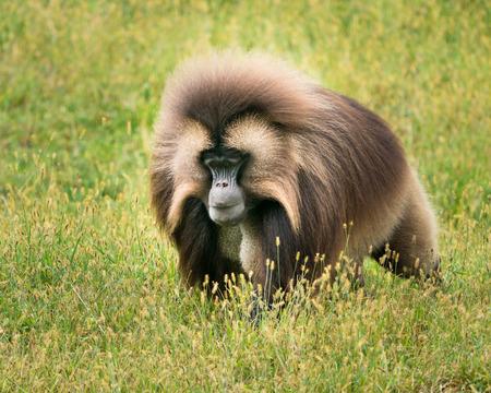 Male Gelada Baboon Walking in a Field of Grass
