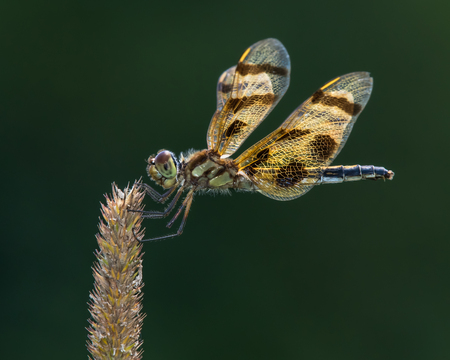 Profile Portrait of a Halloween Pennant  Dragonfly Against a Dark Green Background Stock Photo