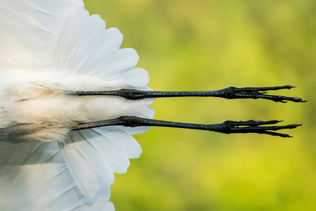 Closeup of the Legs of a Great Egret in Flight Stock Photo