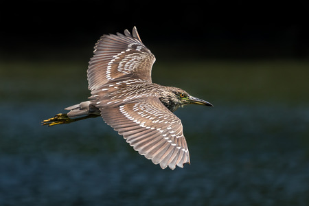 Black-Crowned Night-Heron in Flight Over Water