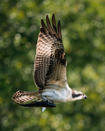 Osprey in Flight with Menhaden Fish in Front of Blurred Trees