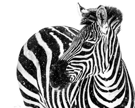 Profile Portrait of a Plains Zebra Against a White Background Stock Photo