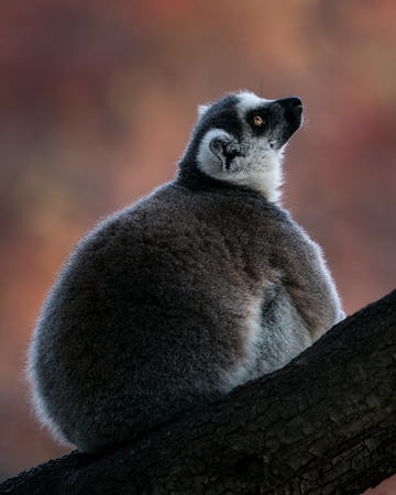 Profile Portrait of a Ring-Tailed Lemur Against a Colorful Background