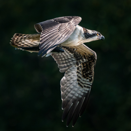 Osprey in Flight After Catching a Menhaden Fish Stock Photo - 91702627