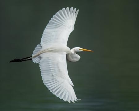 Great Egret in Flight Over Green Water