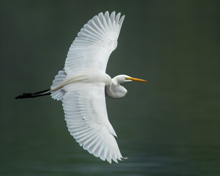 Great Egret in Flight Over Green Water