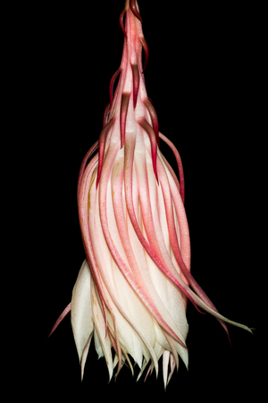 Night Blooming Cereus Against a Black Background Stock Photo - 91702630