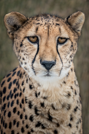 Frontal Portrait of Cheetah Against Mottled Background