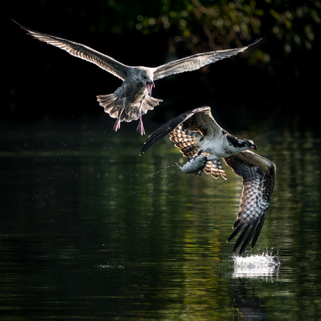 Gull Chasing Osprey with Caught Fish